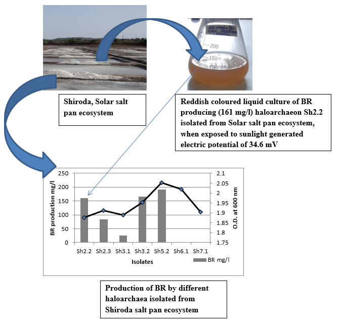 Bacteriorhodopsin Producing Halophilic Archaea Isolated from Solar Salt Pan Saline Environment for Conversion of Light Energy into Electrical Energy