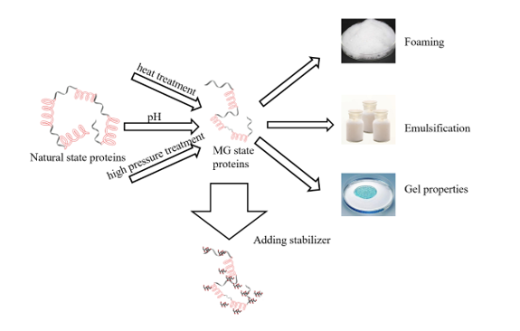 Preparation, Processing Characteristics, and Stability Analysis of Molten Globule Protein